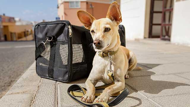 Hund neben Transporttasche